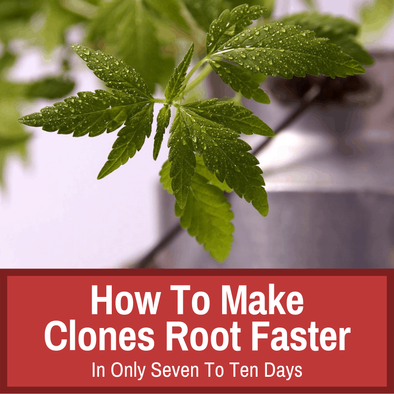 Making clones root faster