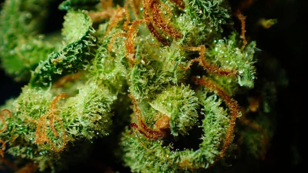 Marijuana bud ready for harvest