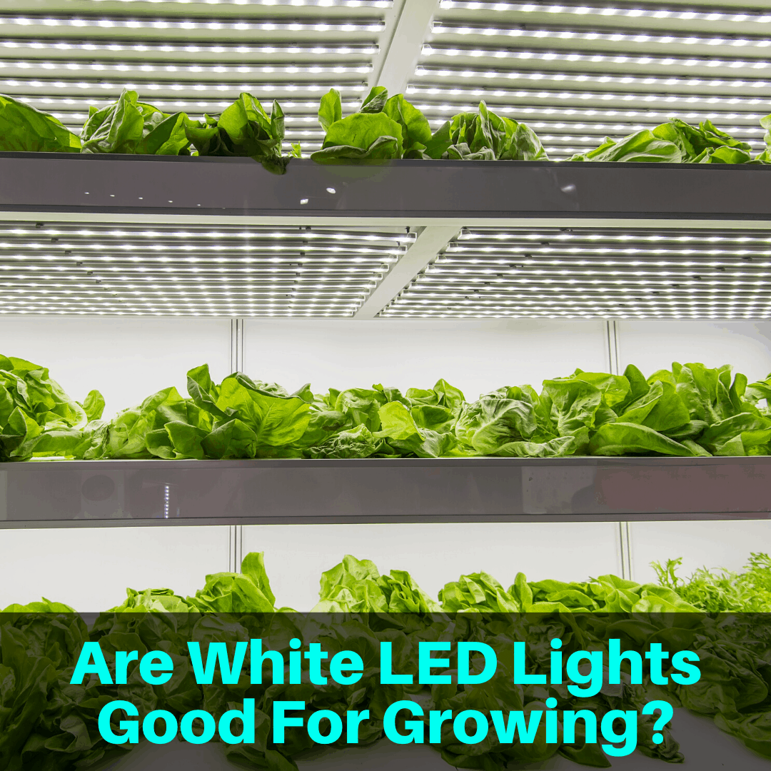 White LED lights growing plants