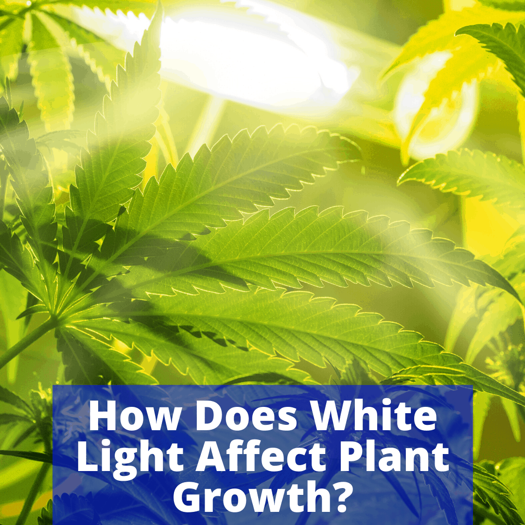White light affecting plant growth