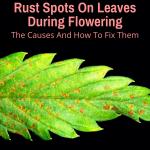 Rust Spots On Leaves During Flowering