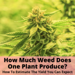 How Much Weed Does One Plant Produce