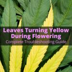 Leaves Turning Yellow During Flowering