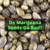 Do Marijuana Seeds Go Bad