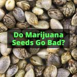 Do Marijuana Seeds Go Bad