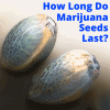 How Long Are Marijuana Seeds Good For