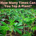 How Many Times Can You Top A Plant