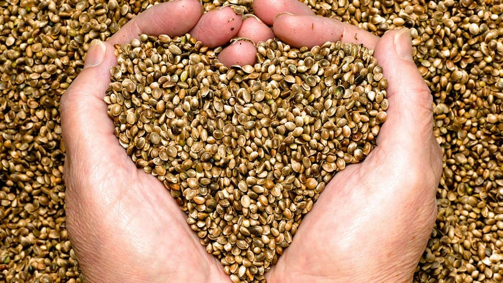 Caring for hemp seeds
