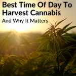 Best Time Of Day To Harvest Cannabis