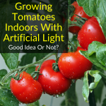 Growing Tomatoes Indoors With Artificial Light