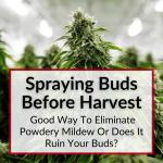 Spraying Buds Before Harvest Powdery Mildew