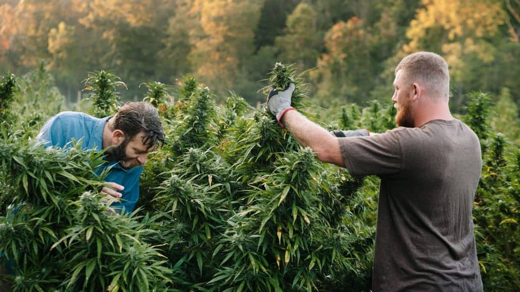 harvesting cannabis in morning