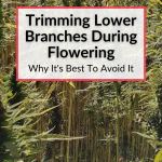 Trimming Lower Branches During Flowering