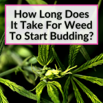 How Long Does It Take For Weed To Start Budding