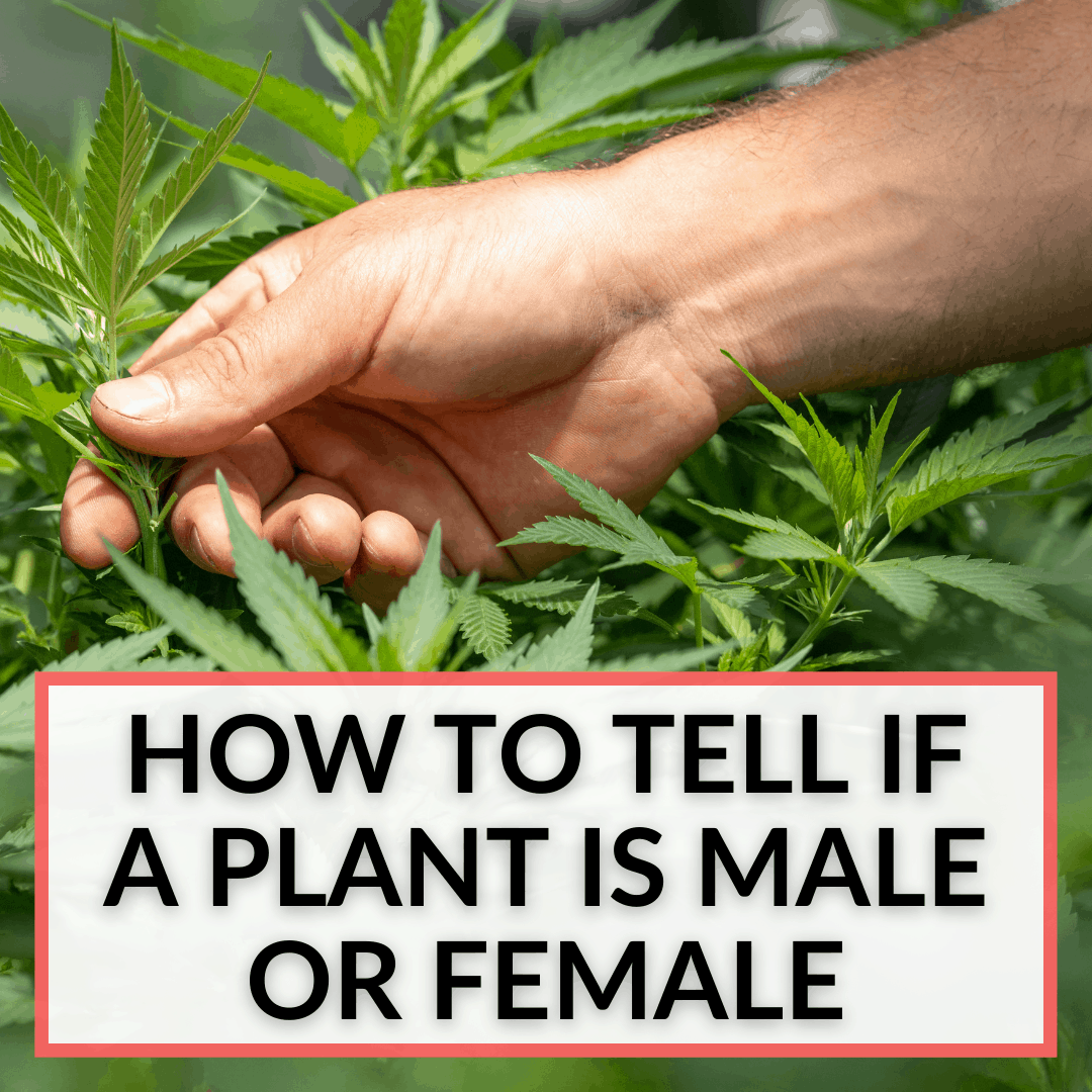 How To Tell If A Plant Is Male Or Female