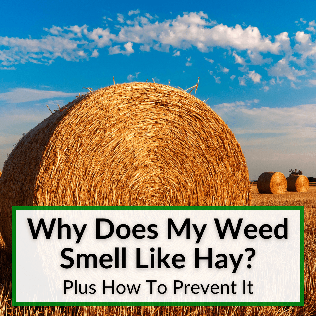 Why Does My Weed Smell Like Hay