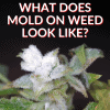 What Does Mold On Weed Look Like