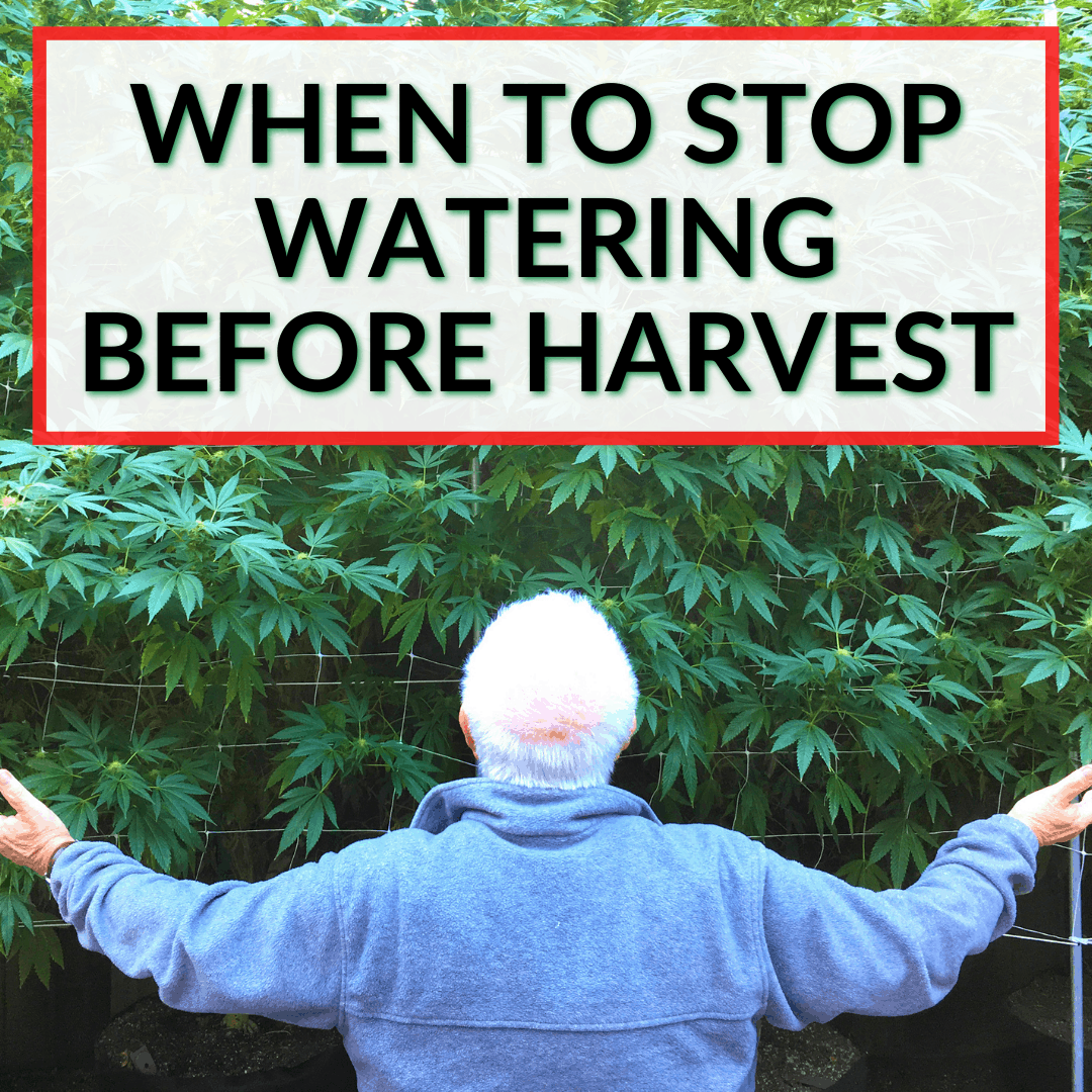 When To Stop Watering Before Harvest